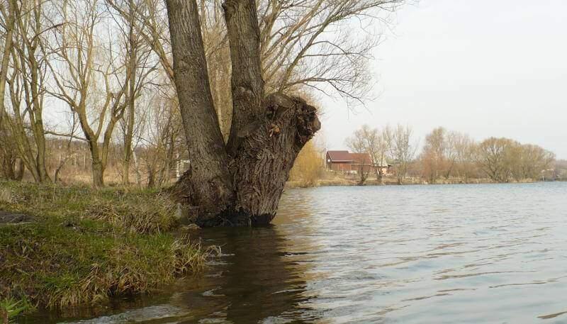 vrba u rybníka