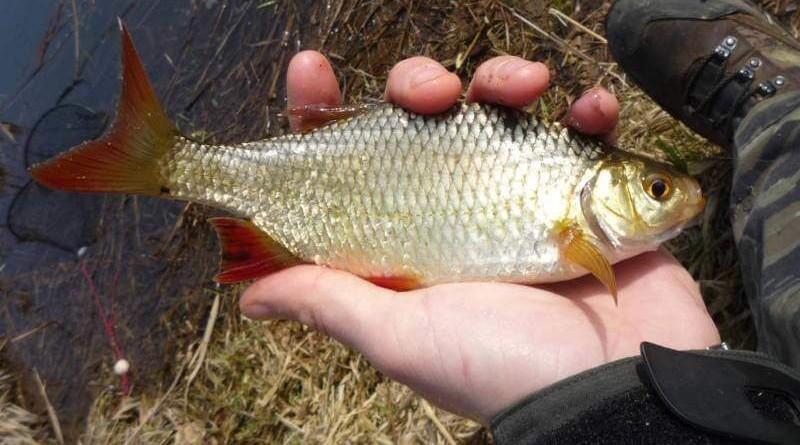 malá rybka na feeder
