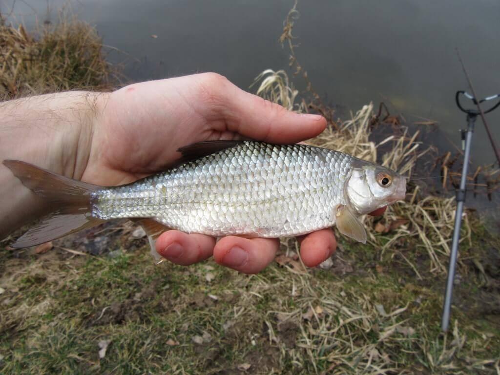 První ryba sezony - plotice