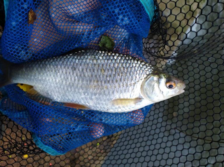 Picker 1. díl: bílá ryba